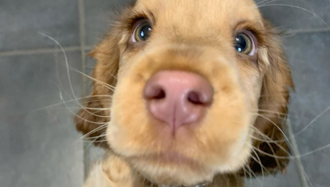 Enamórate de los ojitos de Winnie, la Cocker Spaniel más hermosa (Video)